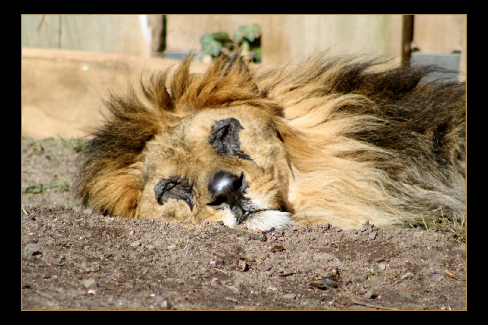 schlafen einfach nur schlafen foto bild tiere zoo wildpark falknerei s ugetiere. Black Bedroom Furniture Sets. Home Design Ideas