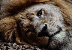 * Schlafen mit dem Löwen??