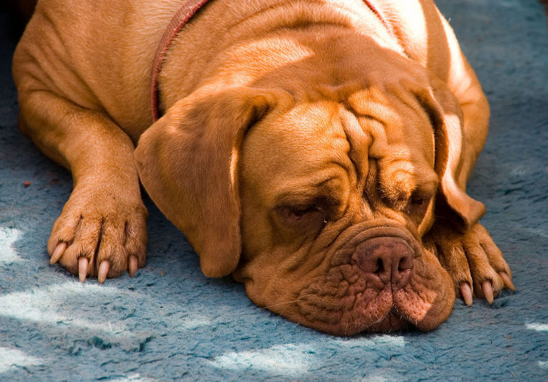 Schlafende Dogge