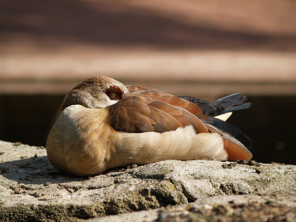schlafende Ente