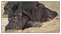 schlafende Flusspferde