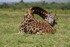 Schlafende Giraffe