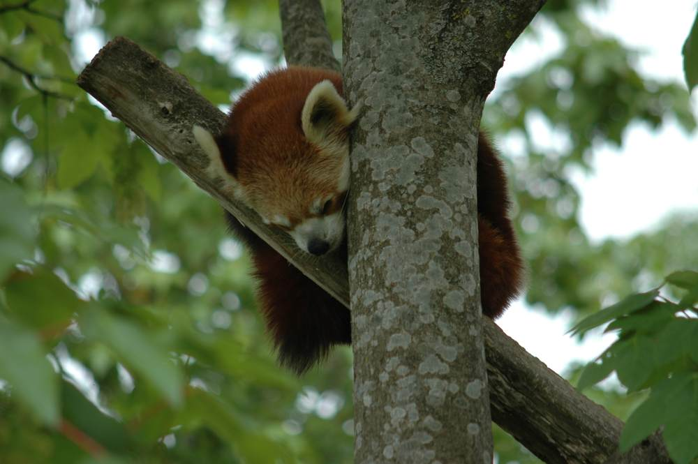 Schlafender Baumbär