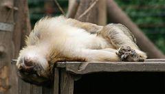 Schlafender Berberaffe