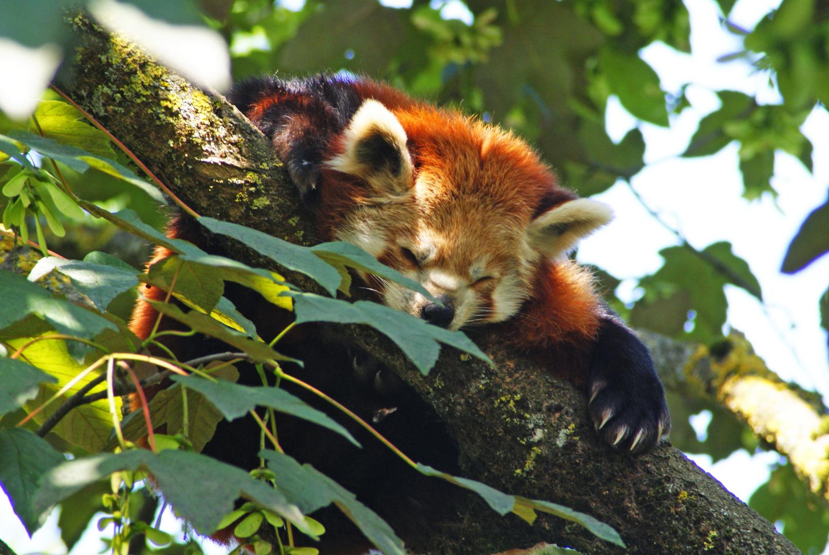 schlafender Kleiner Panda