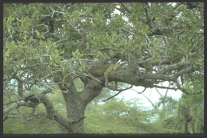 Schlafender Leopard