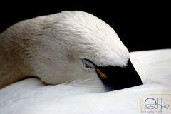 Schlafender Schwan