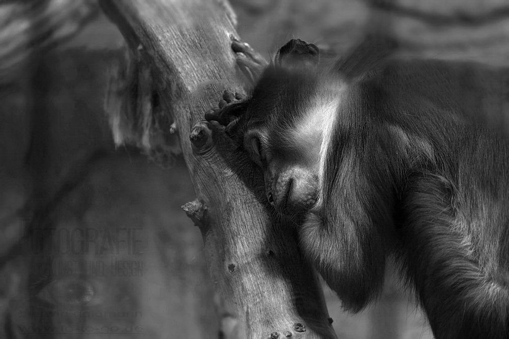 schlafendes Äffchen am Baum