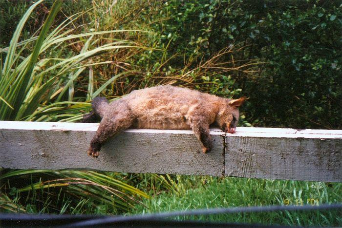 Schlafendes Opossum (-;