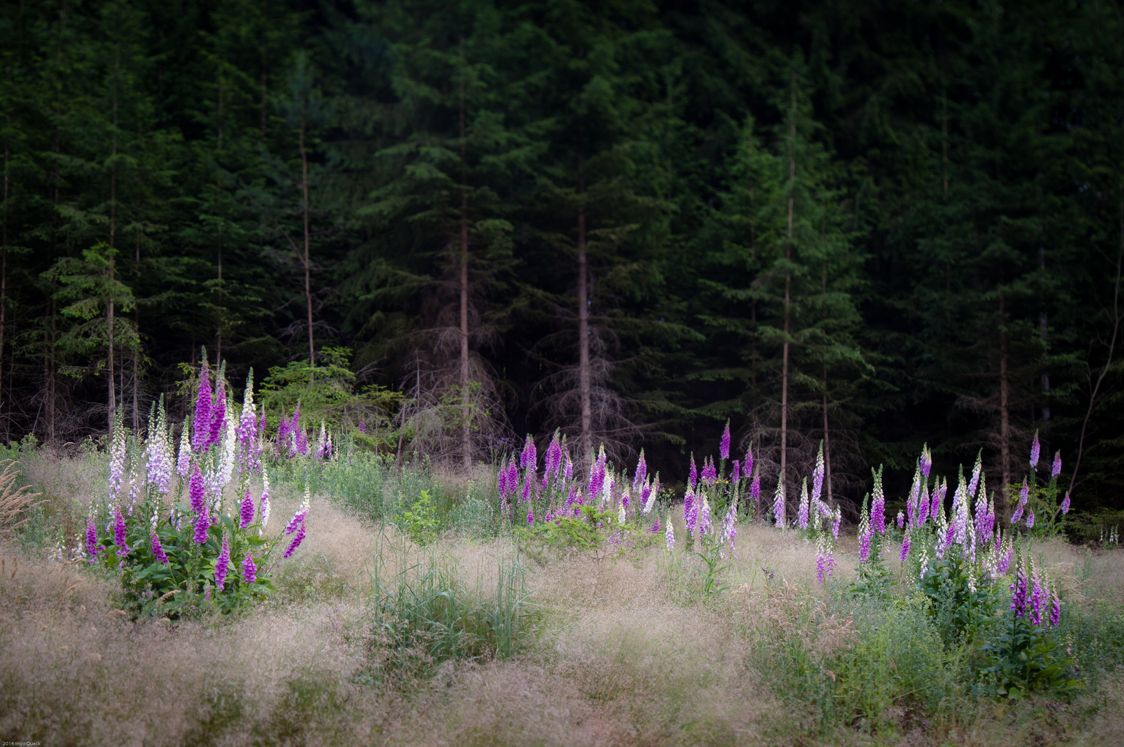 Schlagflora im Fichtenwald