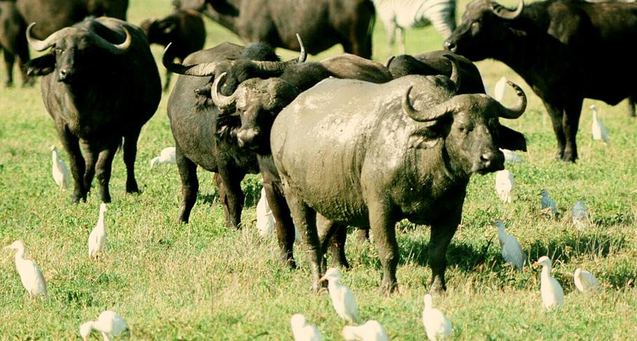 Schlammbüffel
