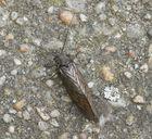 Schlammfliege (Sialis sp.)