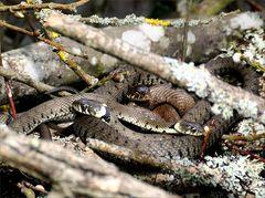 Schlangen im Unterholz...