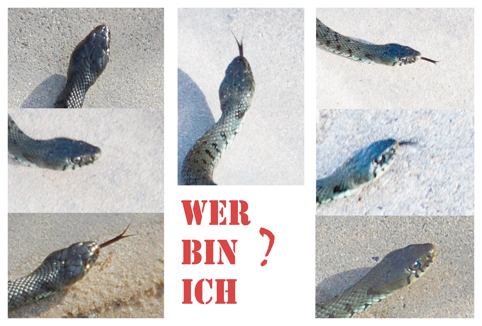 "Schlangen: ""Ringelnatter"" ?"