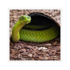 """Schlangenfarm / Schladen """" die grüne Mamba..."""""""