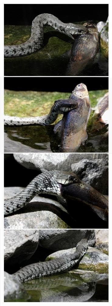 Schlangenfütterung!