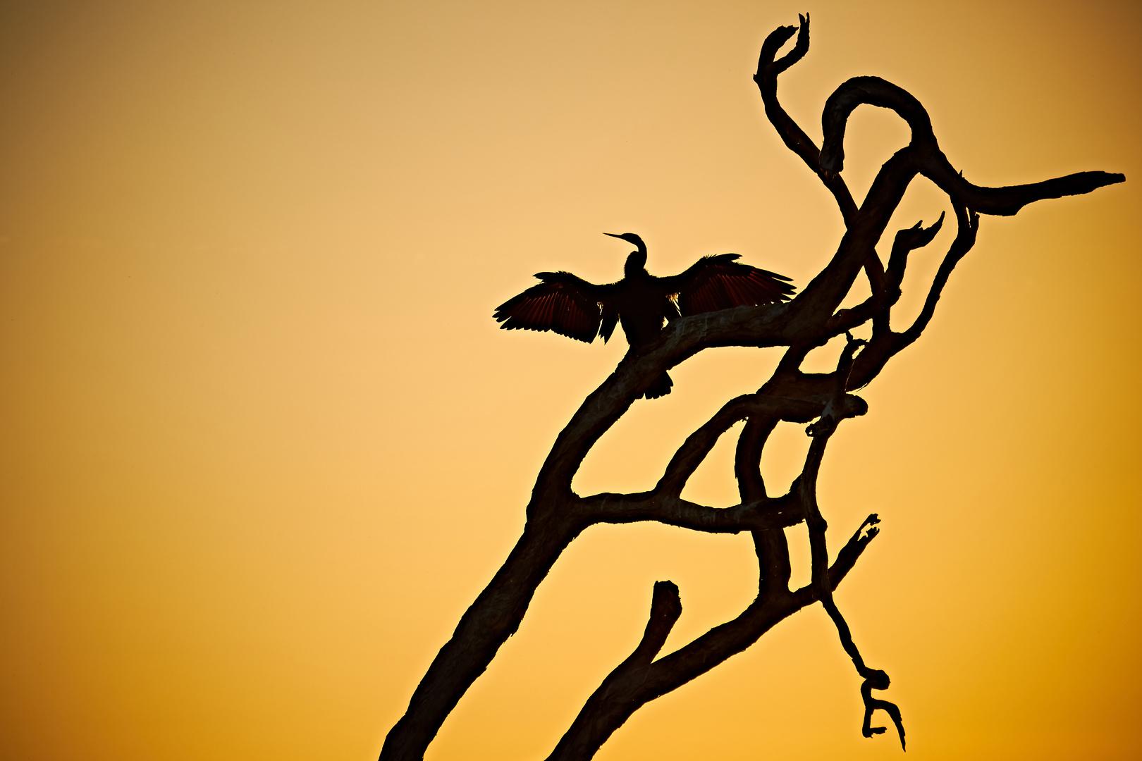 Schlangenhalsvogel im Kakadu NP, Australien, NT