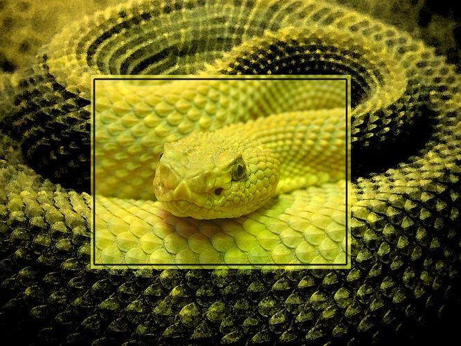Schlangenhypnose
