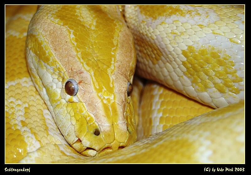 Schlangenkopf
