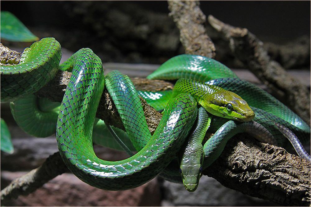 Schlangennest