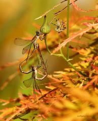 Schlanklibellen bei der Paarung