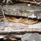 Schlanknatter    ( Platyceps najadum dahli )