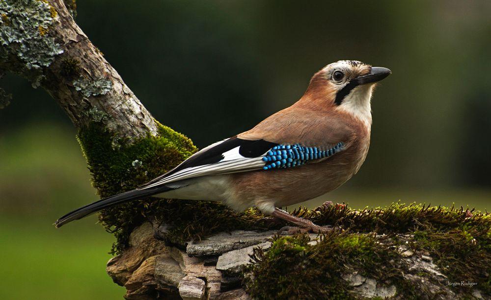 Schlauer Vogel