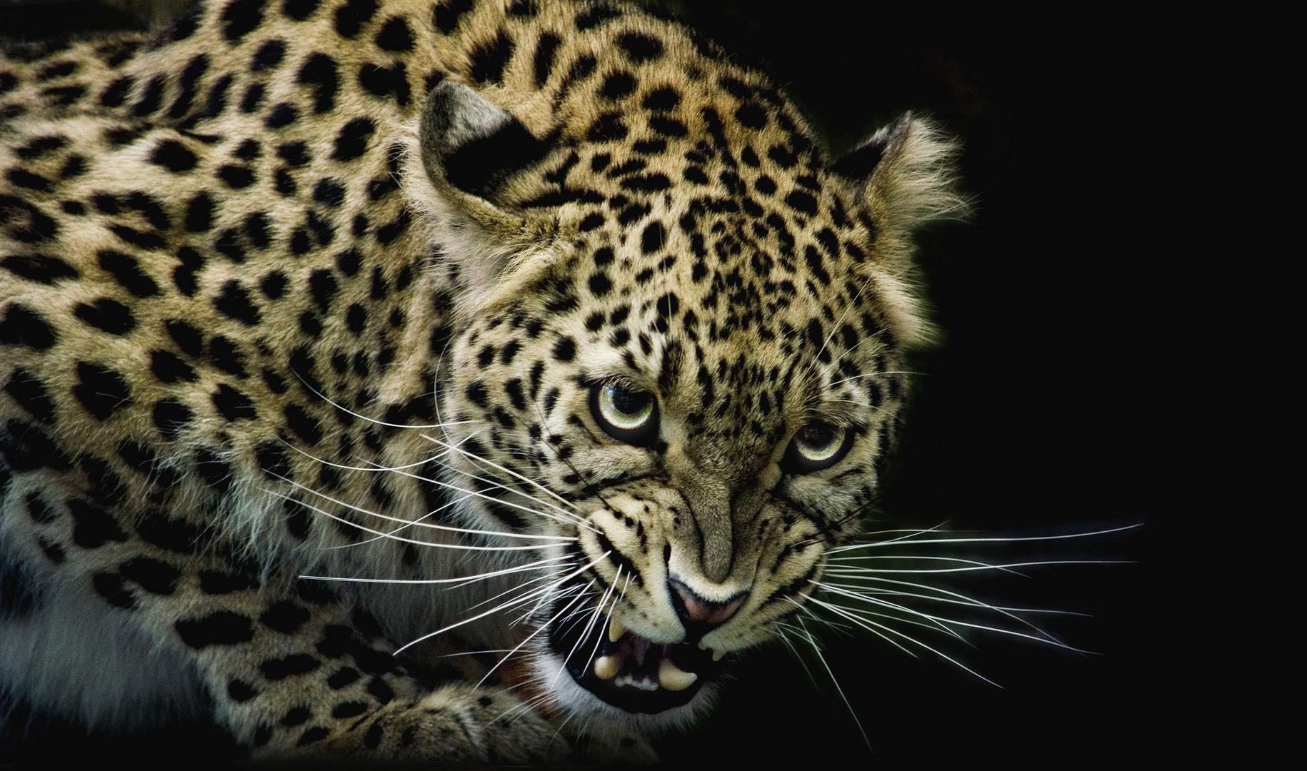 Schlecht gelaunter Leopard