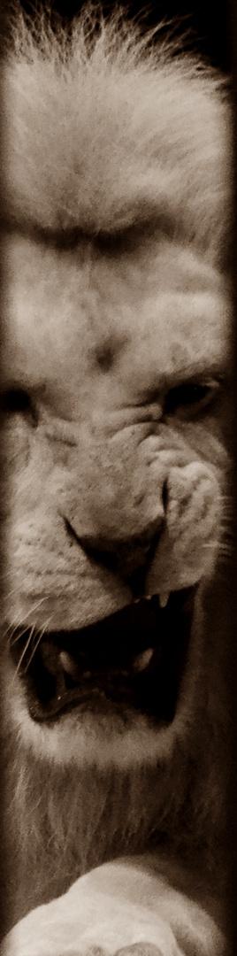 Schlecht Geschlafen Foto Bild Tiere Lowe Zirkus Bilder Auf