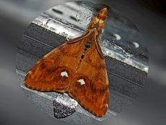 Schlehen-Bürstenspinner (Orgyia antiqua) - L'Étoilée.