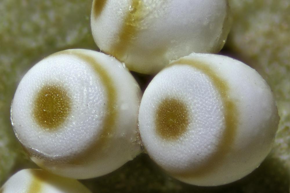 Schlehenspinner-Eier