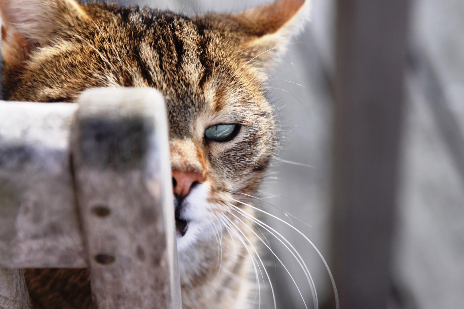 Schleichender Tiger auf Mäusejagd