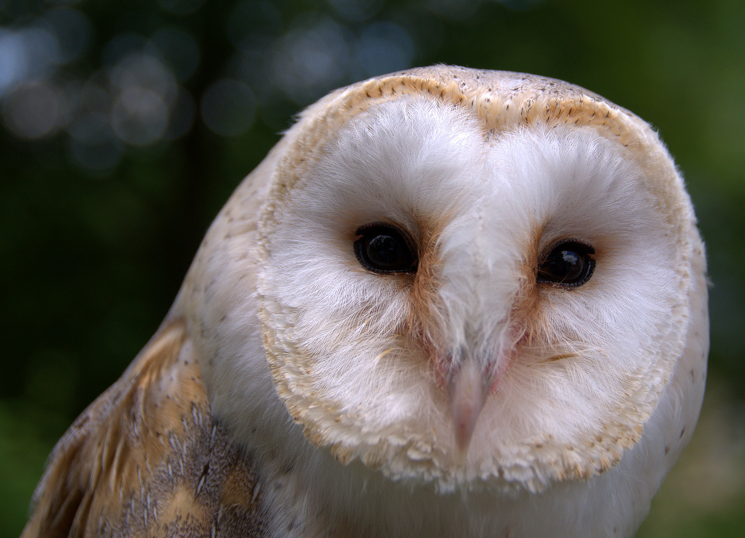 *Schleiereule* (Tyto alba)