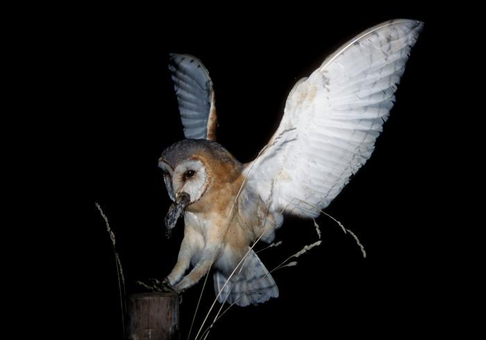 Schleiereule (Tyto alba guttata)