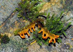 Schleimpilz: Lepidoderma tigrinum - Lépidoderme tigré!