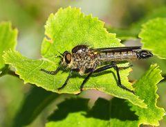 Schlichte Raubfliege - Machimus rusticus *