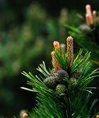 Schliffkopf pine flowering