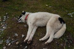 (Schlitten)-Hundemüde, Grönland