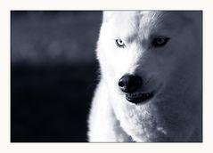 Schlittenhund mal etwas anders