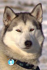 Schlittenhund2