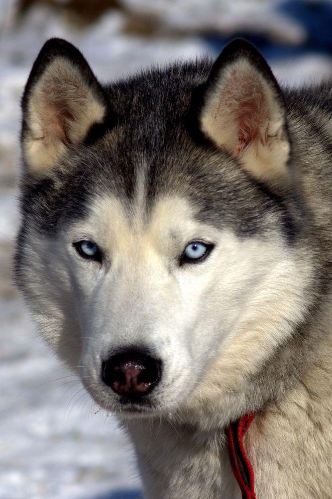 Schlittenhund3