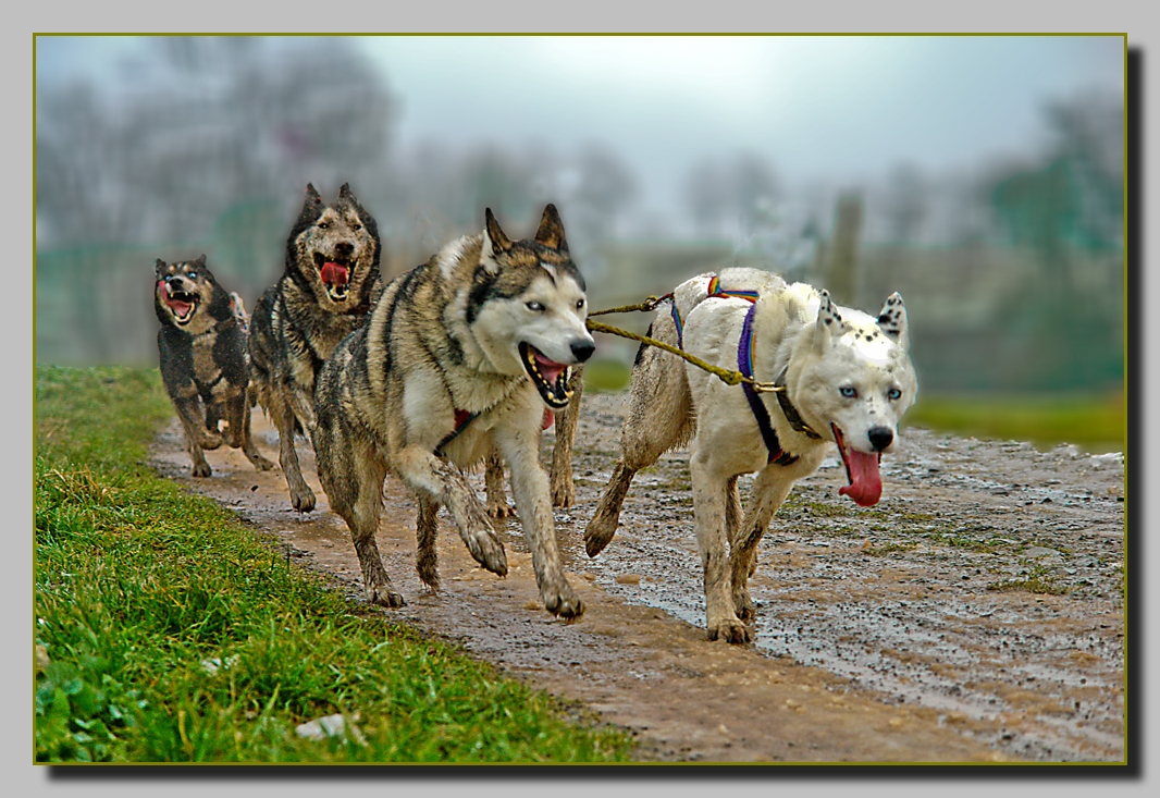 Schlittenhunde bei höchster Belastung