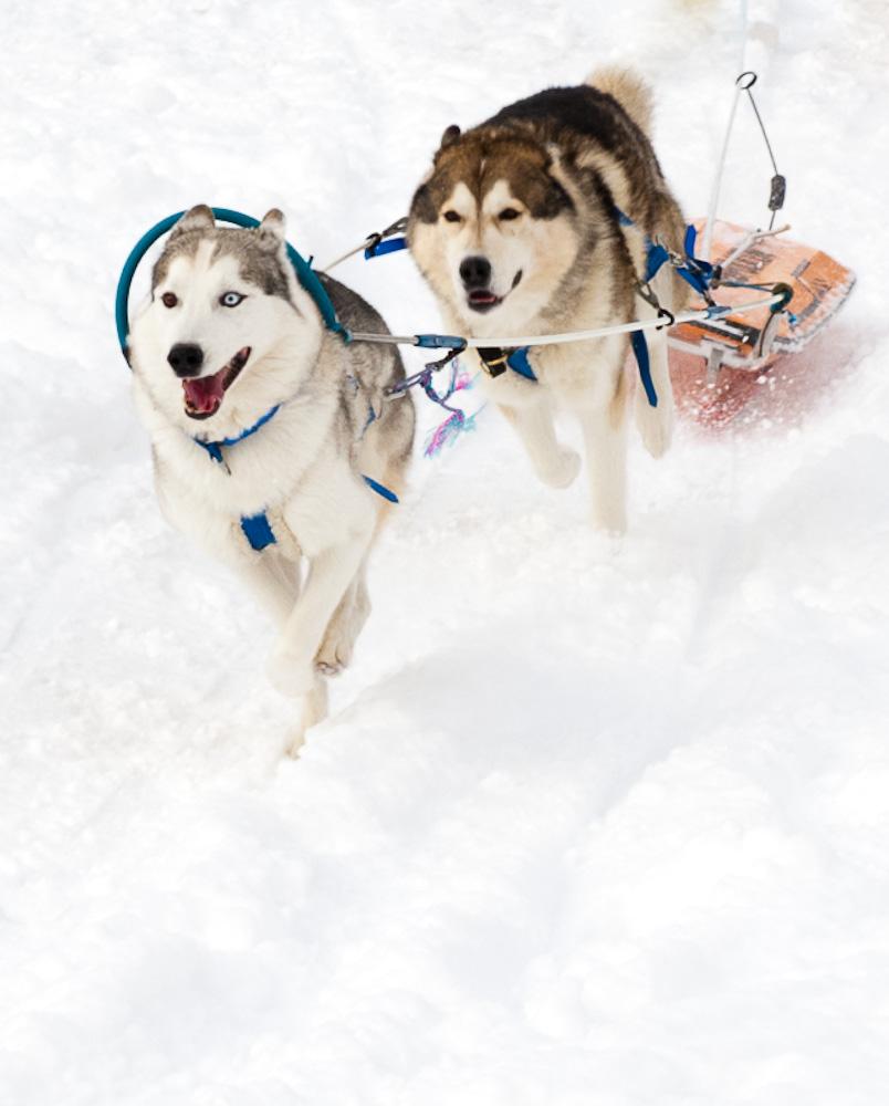 Schlittenhunderennen #3