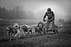Schlittenhunderennen II