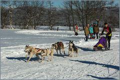 Schlittenhundrennen in Clausthal-Zellerfeld