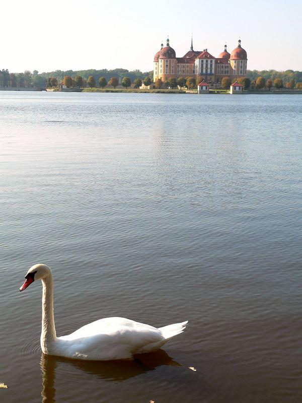 Schloß Moritzburg mit Schwan