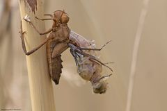 Schlüpfende Falkenlibelle