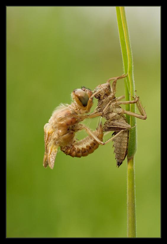 [schlüpfende Libelle] - es ist zum aus der Haut fahren