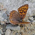 Schlüsselblumen-Würfelfalter (Hamearis lucina) - La Lucine.
