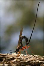 Schlupfwespe - Dolichomitus imperator - bei der Eiablage
